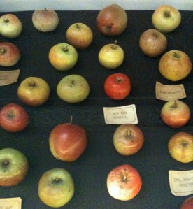 Papier mache apples, Museum of Economic Botany