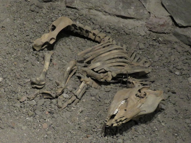 Skeleton of a young boar, found buried in the cellars